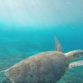 【沖縄県|座間味島】ダイビングができなくても大丈夫!ウミガメに99%の確率で出会える島があった!