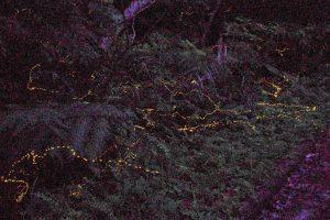 西表島某所で光るヤエヤマボタル